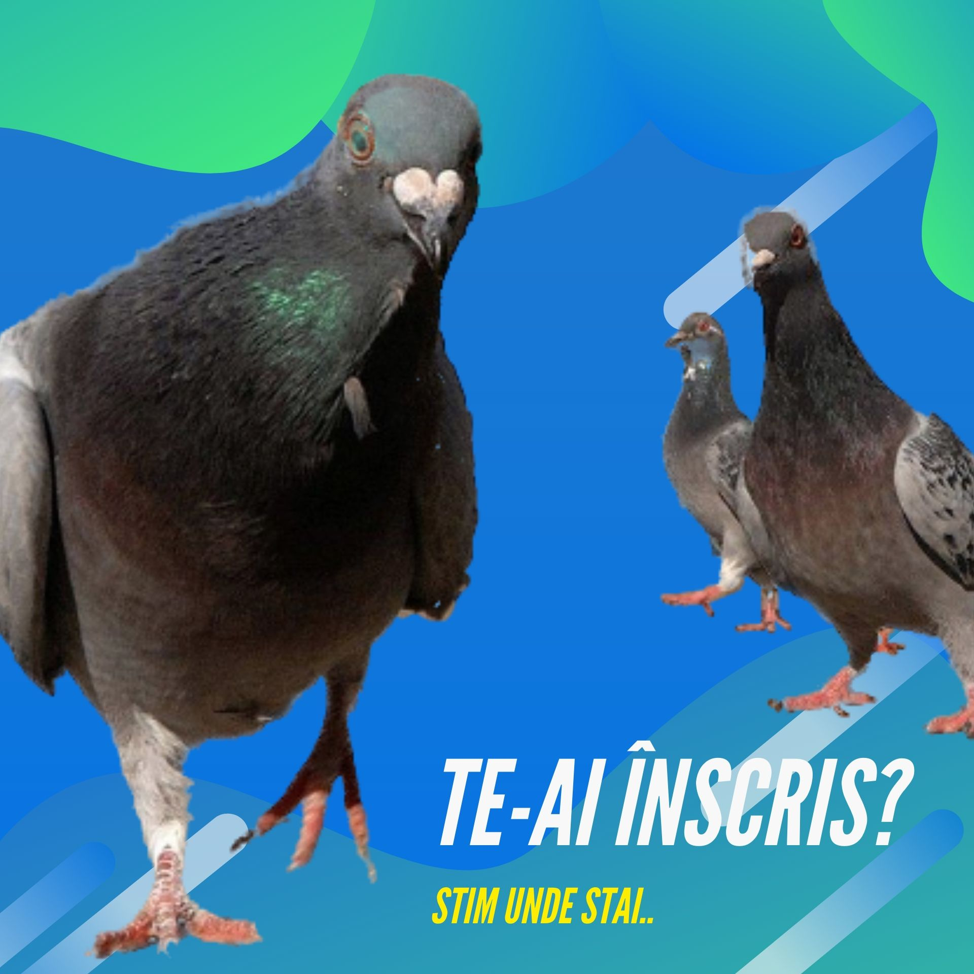 Best Pigeons (2)